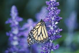 what is a season to plant a butterfly bush home guides sf gate