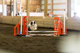 afghan hound vs wolfhound 25 gifs of dogs competing in agility american kennel club