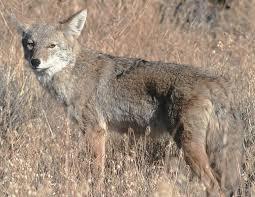 Kentucky wildlife images Common mammals of kentucky jpg