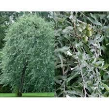 5ft pyrus salicifolia pendula weeping pear trees silver leaves