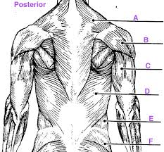 Human Anatomy Exam Questions Anatomy Muscles Exam Questions Human Anatomy Lab Resources Human