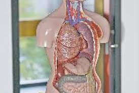 A Picture Of The Human Anatomy Protein Digestion Inside The Human Body Healthy Eating Sf Gate
