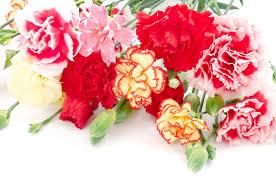 different kinds of carnations flower pressflower press