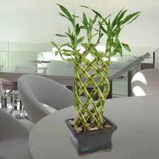 houseplant trellis lucky bamboo trellis lucky bamboo house plants emilysplants com