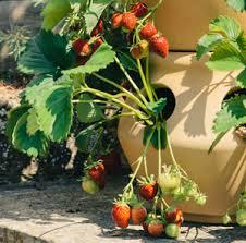 Strawberry Garden Beds Backyard Berries Blueberries Strawberries Raspberries