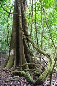 tree with vine madidi national park bolivia