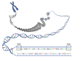 the 3 simple rules to determine the amino acid chain from a dna