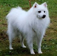 american eskimo dog london these eskimo dogs are the sweetest things ever american eskimo