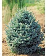 how to buy and care for a living christmas tree monrovia