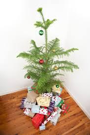 photo of norfolk island pine christmas tree free christmas images