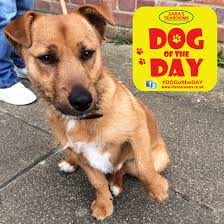 bichon frise jack russell cross temperament louie a 9 month old norfolk terrier jack russell cross dog of