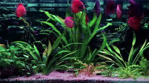 Home Aquarium by Home Aquarium Terčovec červený Symphysodon Discus Youtube