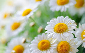 white daisies wide high resolution wallpaper download white