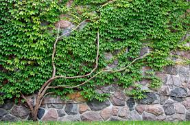 vine growing on a rock wall stock photo picture and royalty free