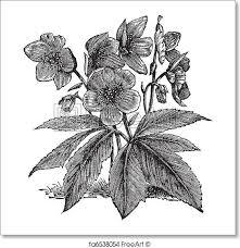 free print of black hellebore or or helleborus
