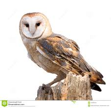 owl stock photos images u0026 pictures 29 068 images