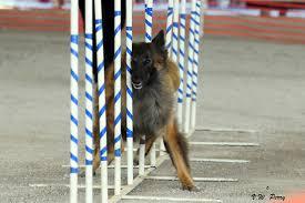 belgian sheepdog agility brag u2014 play dog excellent