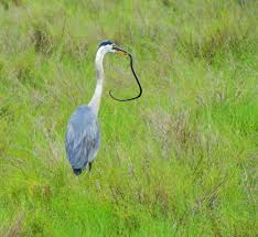 great blue heron vs snake living with a hopeful heart