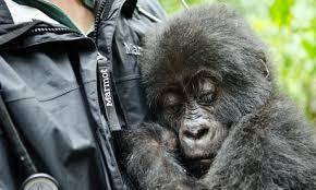 gorilla genome analysis reveals new human links science the