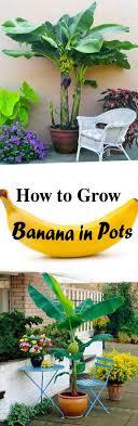 best 25 banana tree ideas on banana plants