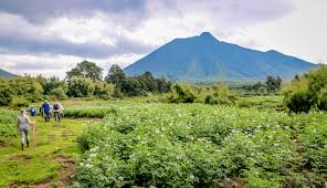 pic of the week trekking rwanda u0027s parc national des volcans