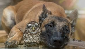 belgian shepherd nz belgian shepherd and little rescued owl are smitten album on imgur