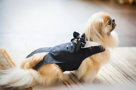 Shoomie pekingese ring bearer wedding ring bearer dog ring