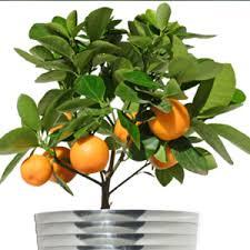 plant a citrus indoors garden club