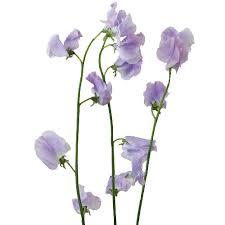 sweet pea flowers designer japanese sweet peas
