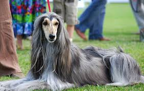 owning an afghan hound what are the best dogs for people with allergies pupunite