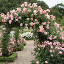 Patio Tree Rose by English Rose Climbers David Austin Roses