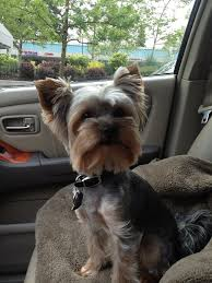 yorkie hairstyles yorkie haircut exles 74 best york images on pinterest pets yorkies and yorkshire