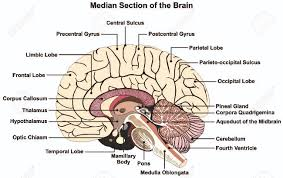 photos diagram of a label brain human anatomy diagram