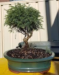 bonsai australian native plants ausbonsai view topic melaleucas