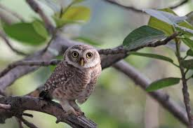 absolutely amazing facts about the owl