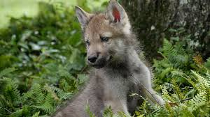 baby wolf pups go outside for the