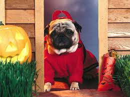 cute halloween desktop background cute pug dog wallpaper for your computer desktop