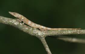 Seeking Lizard Seeking Photographs Of Ecomorphs Anole Annals