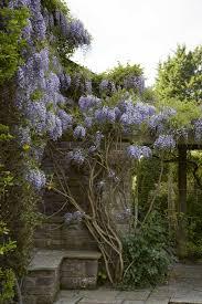 wisteria how to make it flower gardenista