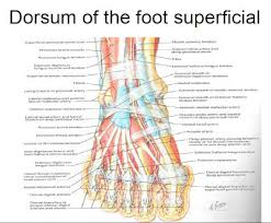 Tendon Synovial Sheath Muscles Of The Foot And Ankle Podiatry