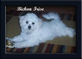 bichon frise kentucky about us
