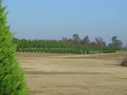 home our cotton pickin u0027 christmas tree farm
