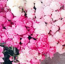 where to buy peonies pink peonies stock photo more pictures of beauty istock