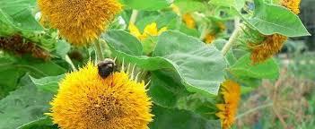 teddy sunflowers helianthus annual sunflower helianthus annuus teddy