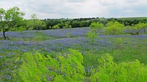 bluebells and bluebonnets the flower s of scotland and texas a