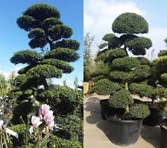 Topiary Cloud Trees - cloud pruned trees for sale uk