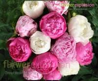 wholesale peonies cheap peonies for sale wholesale peony flowers bulk peonies