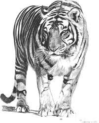 big cat clipart bengal tiger pencil and in color big cat clipart