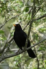 garden bird year blackbird behaviour