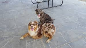 australian shepherd dog for sale australian shepherd puppies for sale the gazette classifieds online